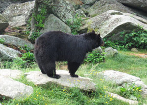 Grandfather Mountain bears